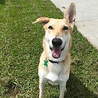Adopt A Pet :: Stryker - Myakka City, FL