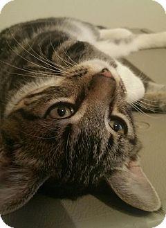 Domestic Shorthair Kitten for adoption in Des Moines, Iowa - RINGO