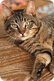 Domestic Shorthair Kitten for adoption in McCormick, South Carolina - Tuna