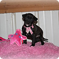 Adopt A Pet :: Laurel - Brattleboro, VT