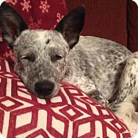 Adopt A Pet :: Myla - San Antonio, TX
