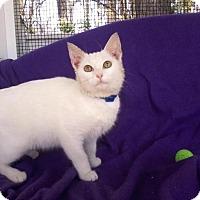 Adopt A Pet :: Pip-Cuddly Cutie pie - Arlington, VA