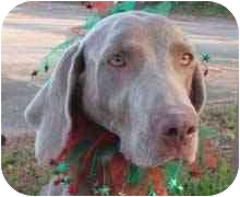 Weimaraner Dog for adoption in Eustis, Florida - Star