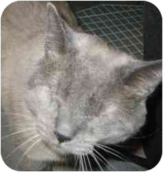 Burmese Cat for adoption in Strathmore, Alberta - Bruin