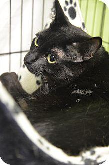 Domestic Shorthair Cat for adoption in Muskegon, Michigan - matt