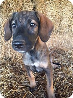 German Shepherd Dog/Labrador Retriever Mix Puppy for adoption in Hagerstown, Maryland - Bolden