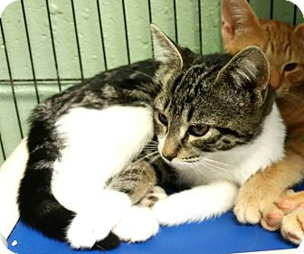Domestic Shorthair Kitten for adoption in Union, New Jersey - Lucy