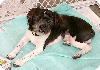 Shih Tzu Dog for adoption in Concord, North Carolina - Sailor