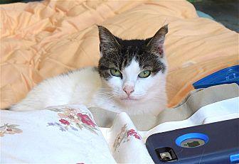 Domestic Shorthair Cat for adoption in Carmel, New York - Stephanie
