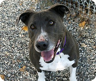 American Staffordshire Terrier/American Pit Bull Terrier Mix Dog for adoption in Los Olivos, California - Stormy