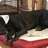 Adopt A Pet :: Sugar - Stevens Point, WI