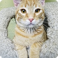 Domestic Shorthair Kitten for adoption in Edwards AFB, California - Ivan