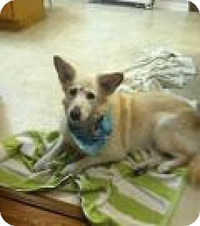 Golden Retriever/Australian Cattle Dog Mix Dog for adoption in New Albany, Ohio - Boo