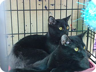 Domestic Shorthair Kitten for adoption in Laguna Woods, California - Buddies Tom and Loren