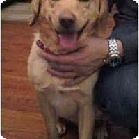 Adopt A Pet :: Lab/Beagle Pup - Indianapolis, IN
