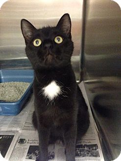 Domestic Shorthair Cat for adoption in Colonial Heights animal shelter, Virginia - Candy Corn