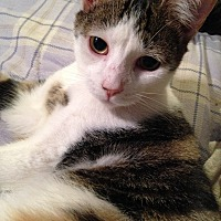 Domestic Shorthair Cat for adoption in Morganton, North Carolina - Graham