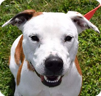 Pit Bull Terrier Mix Dog for adoption in Lisbon, Ohio - Sheila