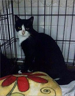 Domestic Shorthair Cat for adoption in Freeport, New York - Twilight