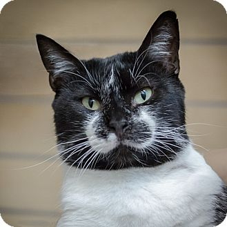 Domestic Shorthair Cat for adoption in Houston, Texas - Chris