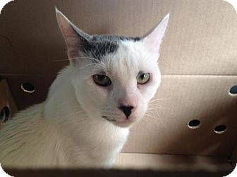 Domestic Shorthair Cat for adoption in New York, New York - Gene