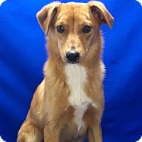 Adopt A Pet :: Mirinda - Show Low, AZ