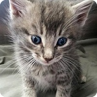 Adopt A Pet :: Jarvis - Springdale, AR