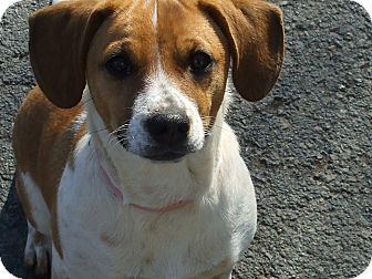 Beagle Puppy for adoption in Carey, Ohio - Carmel Apple(Carmella)