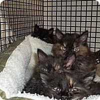 Adopt A Pet :: Justin's Kittens-Torties - Acme, PA