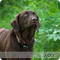 Adopt A Pet :: Sugar - Lewisville, IN