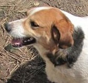 Beagle/Australian Cattle Dog Mix Dog for adoption in Oakland, Arkansas - Louise