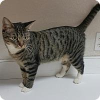Adopt A Pet :: Katniss - Phoenix, AZ