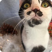 Domestic Shorthair Cat for adoption in Fredericksburg, Virginia - Katie Belle