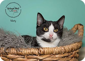 Domestic Shorthair Kitten for adoption in Freeport, New York - Marty