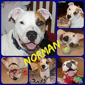 American Bulldog/Labrador Retriever Mix Dog for adoption in Ft Worth, Texas - Norman