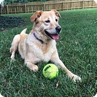 Adopt A Pet :: Mollie - Allentown, PA