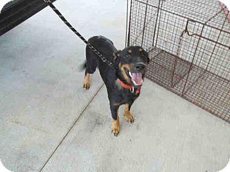 Rottweiler/Corgi Mix Puppy for adoption in Newnan City, Georgia - Roger