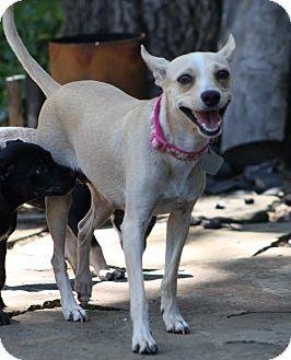 Chihuahua/American Eskimo Dog Mix Dog for adoption in Dallas, Texas - Nellie