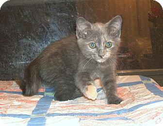 Domestic Shorthair Kitten for adoption in Acworth, Georgia - PIXEL