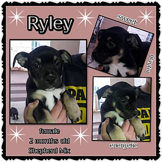 Shepherd (Unknown Type) Mix Puppy for adoption in Richmond, California - Ryley