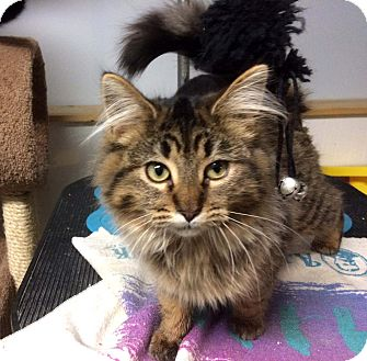Maine Coon Kitten for adoption in Lombard, Illinois - Franny