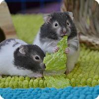 Adopt A Pet :: Mia and Gigi - Brooklyn, NY