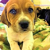 Adopt A Pet :: Samwell Tarley - Atlanta, GA