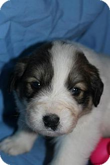 Great Pyrenees Mix Puppy for adoption in Stilwell, Oklahoma - Scout