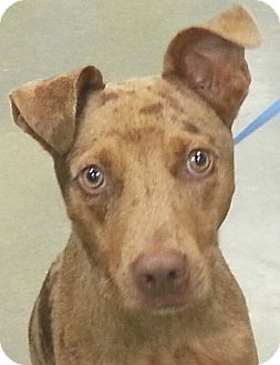 Catahoula Leopard Dog Mix Puppy for adoption in Orlando, Florida - Rufus