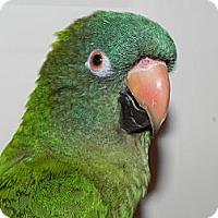 Adopt A Pet :: Sydney Elizabeth - St. Louis, MO