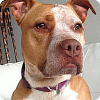 American Staffordshire Terrier/Pit Bull Terrier Mix Dog for adoption in Bellflower, California - Maggie Mae - 47 lbs!