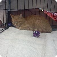 Domestic Shorthair Cat for adoption in Alamo, California - Tiger