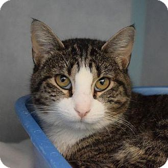 Domestic Shorthair Cat for adoption in Denver, Colorado - Fern