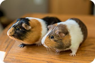 Guinea Pig for adoption in Manhattan, Kansas - Atticus & Draco